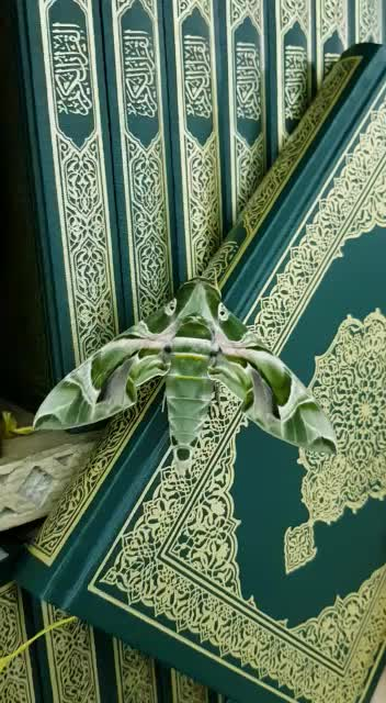 butterflies, butterfly, Tow butterflies take the color of holy quran in prophet's mosque in maddinah mmunawwarah , saudi arabia GIFs