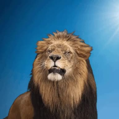 Watch this lion GIF on Gfycat. Discover more lion GIFs on Gfycat