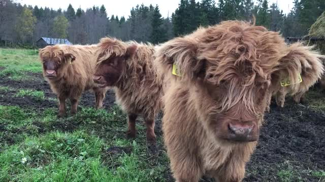 Watch and share Cows GIFs and Aww GIFs by Highland Cattle of Saarela on Gfycat
