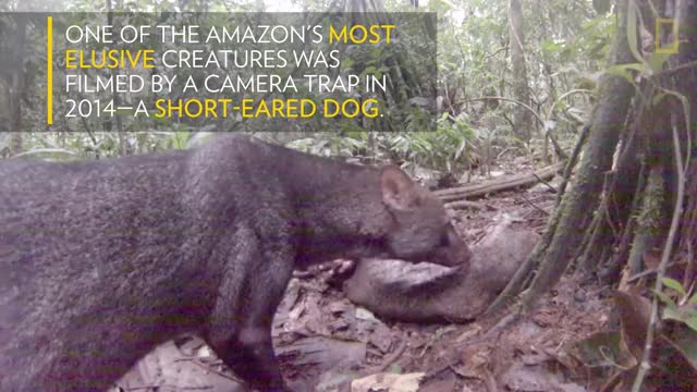 Watch See an Extremely Rare Jungle Dog | National Geographic GIF on Gfycat. Discover more nat geo, natgeo, national geographic GIFs on Gfycat