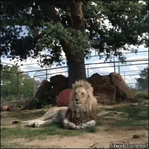 Watch lion GIF by @dydi92 on Gfycat. Discover more related GIFs on Gfycat