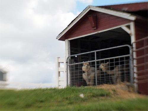 Domino's Petting Farm, GIF, alpaca, animals, barn, lensbaby, real animal, Alpaca barn. GIFs