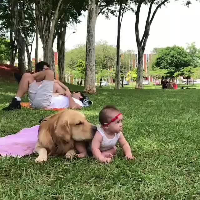baby, cute, dog, puppy, Golden pupper being extra gentle with his tiny human GIFs