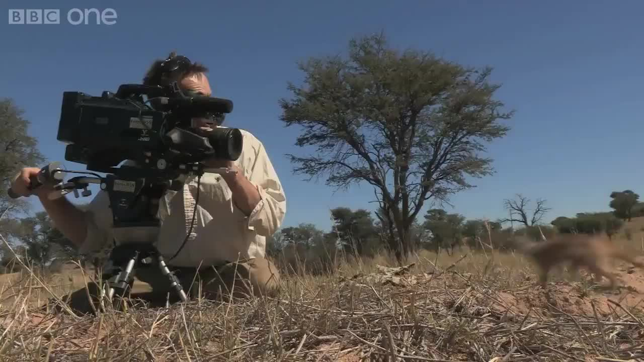 nature, Meerkat uses a wildlife cameraman's head as a vantage point GIFs
