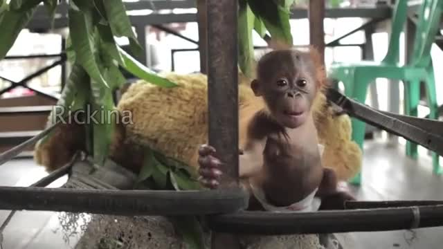 Watch Baby Orangutan Rickina! GIF on Gfycat. Discover more ape, orangutan, orangutans GIFs on Gfycat