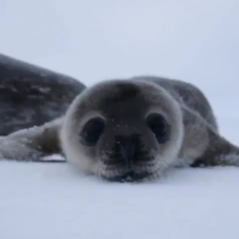 Watch and share Seal GIFs and Aww GIFs by jakunai on Gfycat
