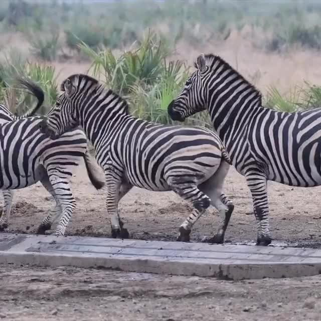 Watch and share Zebras Are Dicks. GIFs by PM_ME_STEAM_K3YS on Gfycat