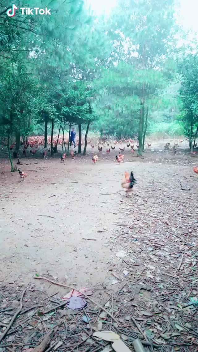 Watch Chicken Army     GIF by Funny gifs (@dryone8) on Gfycat. Discover more awesome, aww, creativity, funny GIFs on Gfycat