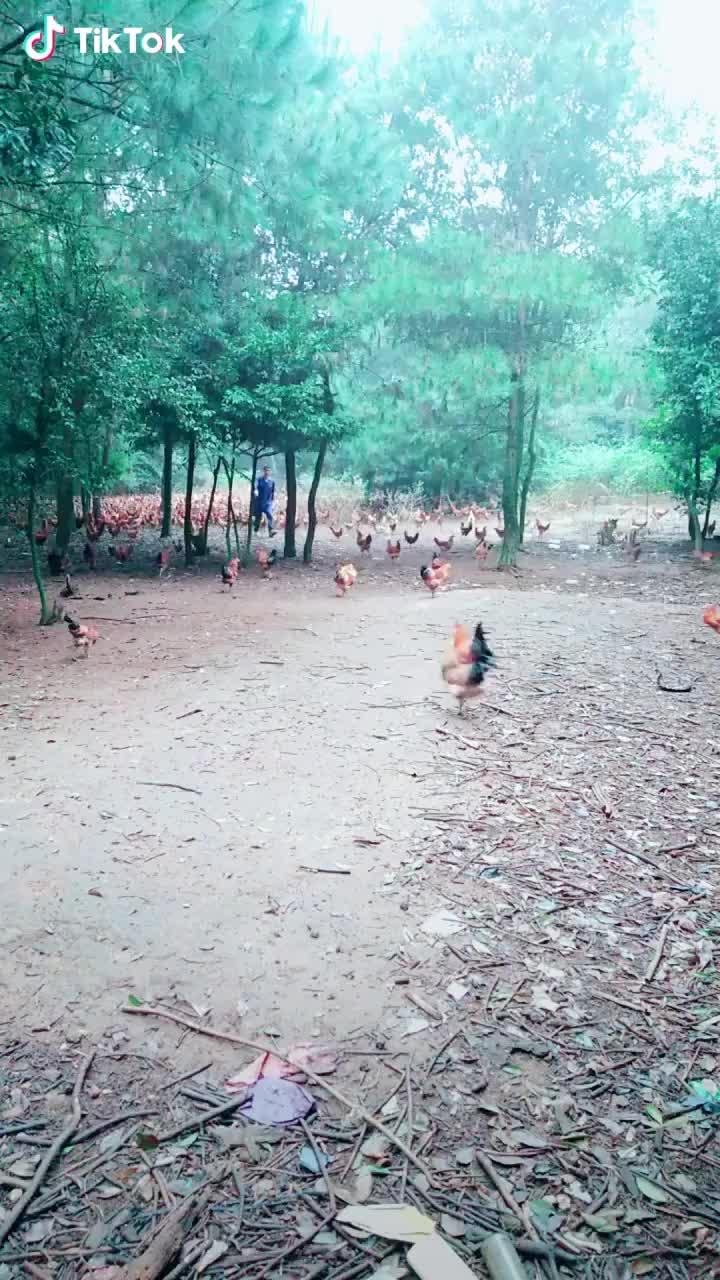 awesome, aww, creativity, funny, Chicken Army     GIFs