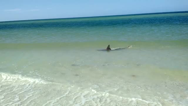 Watch this GIF on Gfycat. Discover more sharks GIFs on Gfycat