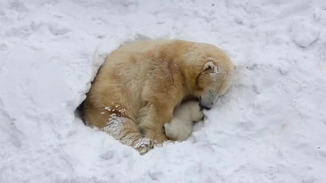 Watch and share Polar Bear Denning Area Under Threat GIFs by Park  Youngjin on Gfycat