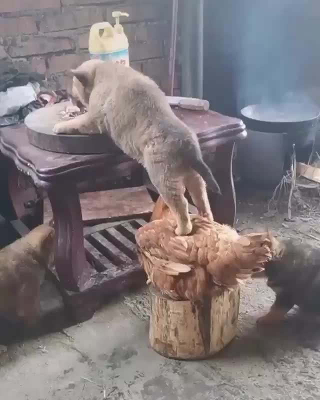 Watch and share Chicken GIFs and Dogs GIFs by longshanks on Gfycat