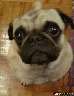 Watch and share Sexy Pug GIFs on Gfycat