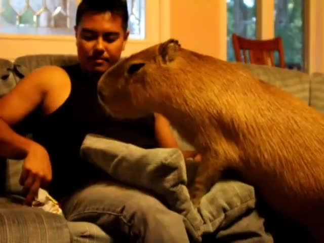 Watch and share Capybara Madness GIFs and Giant Hamster GIFs by Crazy Cody's Creatures  on Gfycat