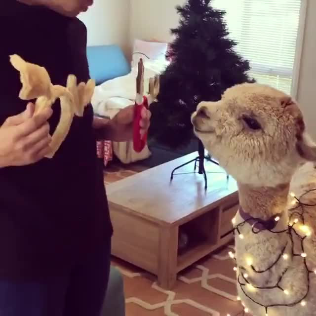 Watch and share Christmas Alpaca GIFs on Gfycat
