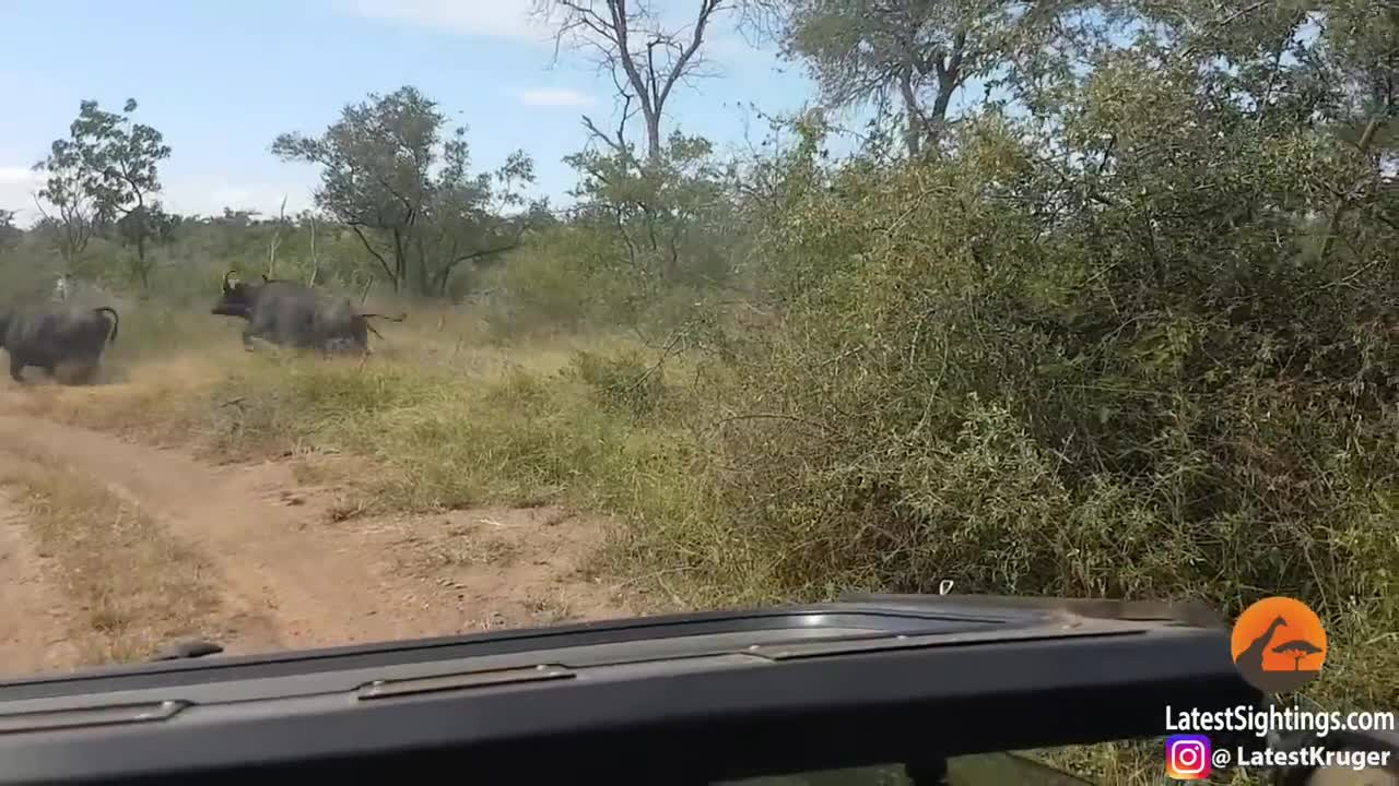 Buffalo calf makes the mistake of calling for its herd GIFs
