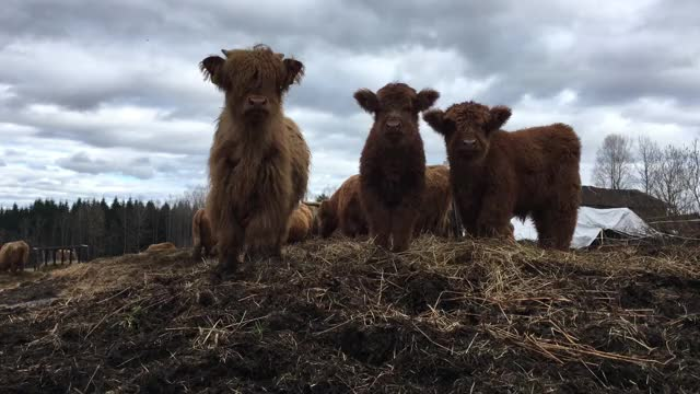 Watch and share Highland GIFs and Scottish GIFs by Highland Cattle of Saarela on Gfycat