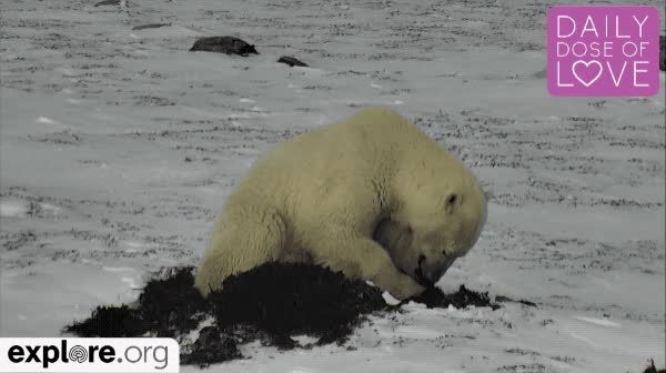 Watch this polar bear GIF by Explore.org (@exploreorg) on Gfycat. Discover more arctic, bear, bears, canada, daily dose of love, explore, explore org, live nature cam, love, nature, polar bear, pure, snow, wildlife, winter, winter is coming GIFs on Gfycat