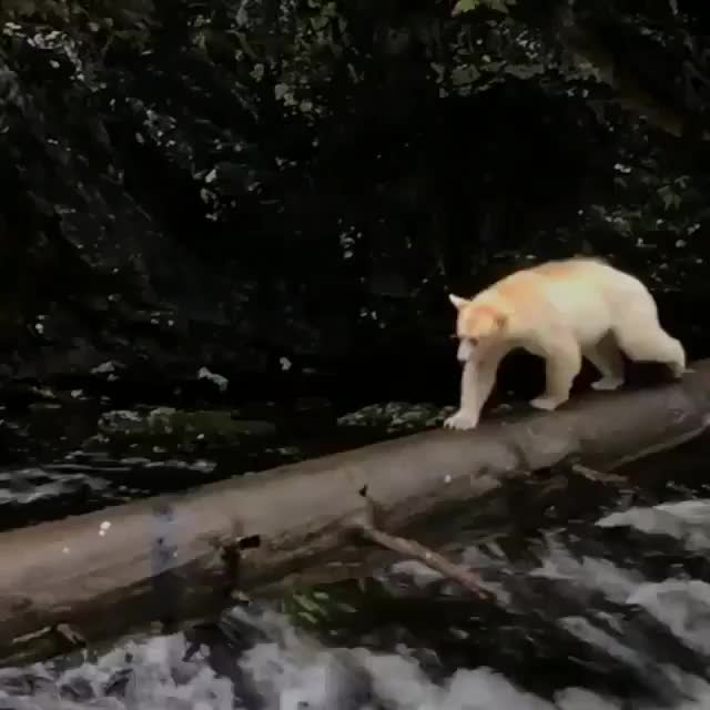 An elusive kermode bear crossing a log in the Great Bear Rainforest of British Columbia, Canada GIFs