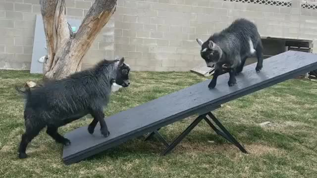 Watch /r/goatgifs - video by goatstigram GIF by @cakejerry on Gfycat. Discover more /r/goatgifs, aww, cute, funny, goats GIFs on Gfycat