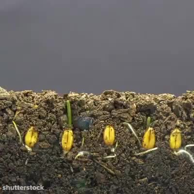 Watch Time-lapse videos of seeds sprouting GIF on Gfycat. Discover more r/sciences GIFs on Gfycat