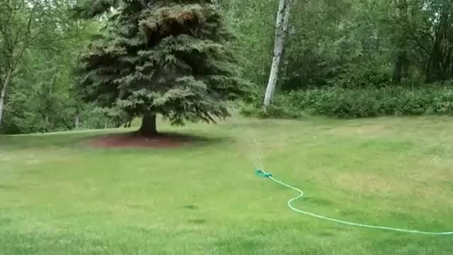 Watch Baby moose playing in sprinkler GIF on Gfycat. Discover more AnimalsWithoutNecks, animalswithoutnecks GIFs on Gfycat