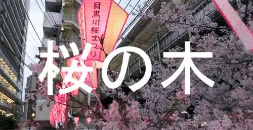 Cherry Blossoms At Nakameguro Tokyo Gif Find Make Share