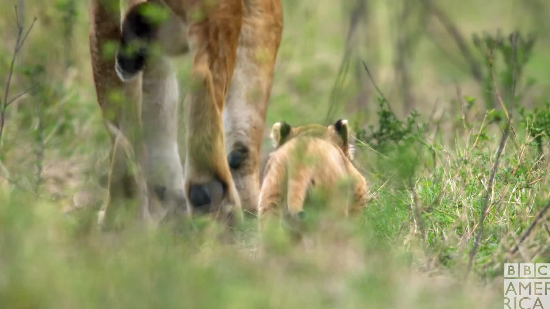 animal, animals, bbc america, bbc america dynasties, bbc america: dynasties, bye, dynasties, late, lion, lions, see ya, see you later, Dynasties Lion Cub Follows Mom GIFs