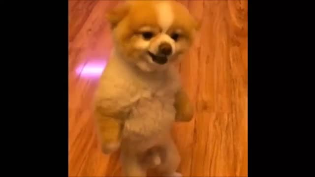 Moody dog with a boner (GIF)