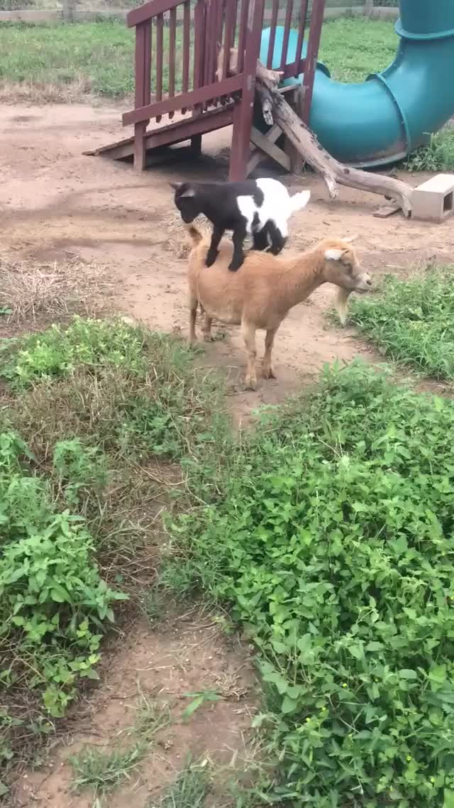 Watch Baby goats! GIF on Gfycat. Discover more babygoats, goatparkour GIFs on Gfycat