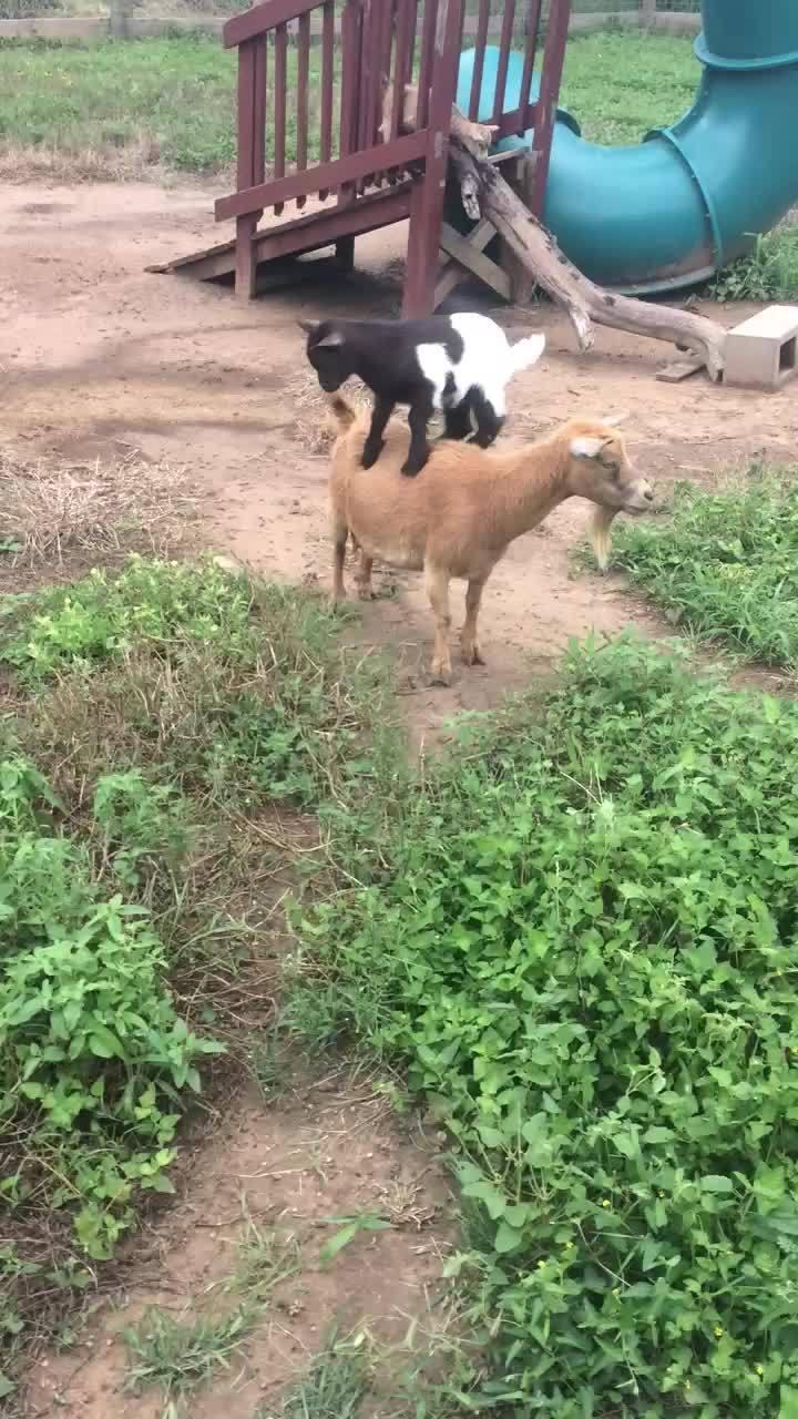 babygoats, goatparkour, Baby goats! GIFs