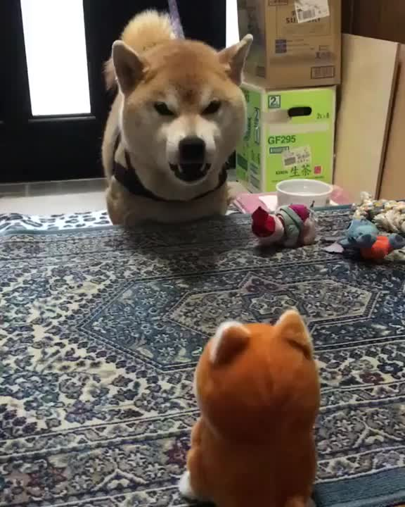 Watch and share Shiba Inu Having A Heated Debate GIFs on Gfycat
