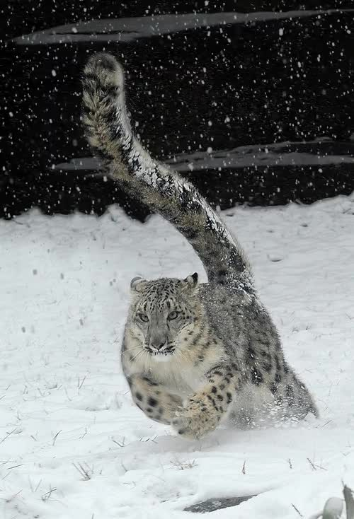 Watch and share Snow Leopard GIFs by somegnosis on Gfycat