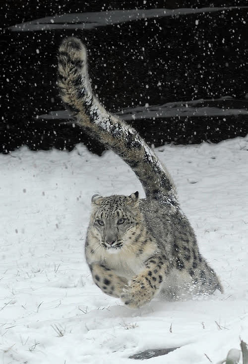 aftereffects, Snow Leopard GIFs