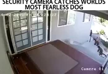 Watch and share Fearless Dog GIFs on Gfycat