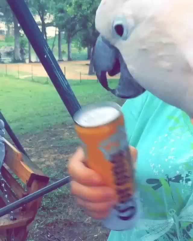 Watch Cockatoo being a true bro GIF on Gfycat. Discover more AnimalsBeingBros, cockatoo, gifs GIFs on Gfycat