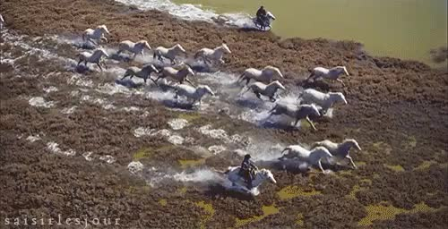 Watch and share Camargue Ponies GIFs and Equestrian Gif GIFs on Gfycat
