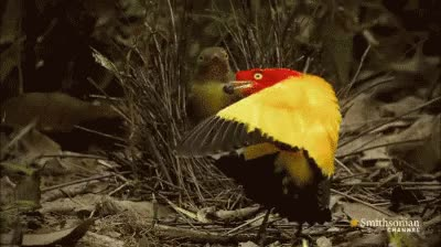 Watch and share Bowerbird Mating GIFs on Gfycat