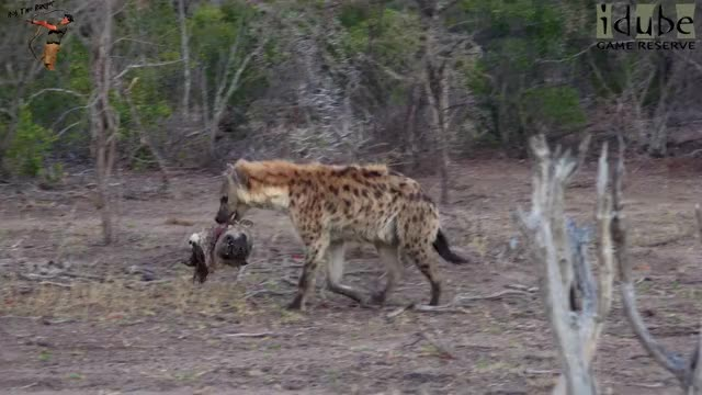 Watch Cannibal Hyenas Chew On A Dead Clan Member GIF by @likkaon on Gfycat. Discover more nature documentary, rob the ranger, wildlife videos GIFs on Gfycat