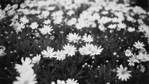 daisy, flower, flowers,  GIFs