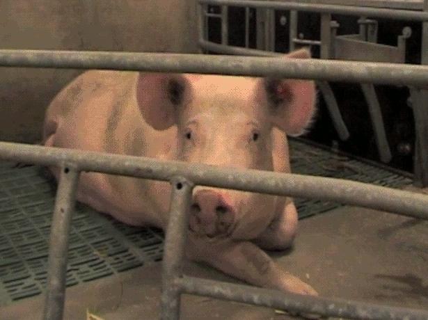 Korta filmklipp från djurfabriker