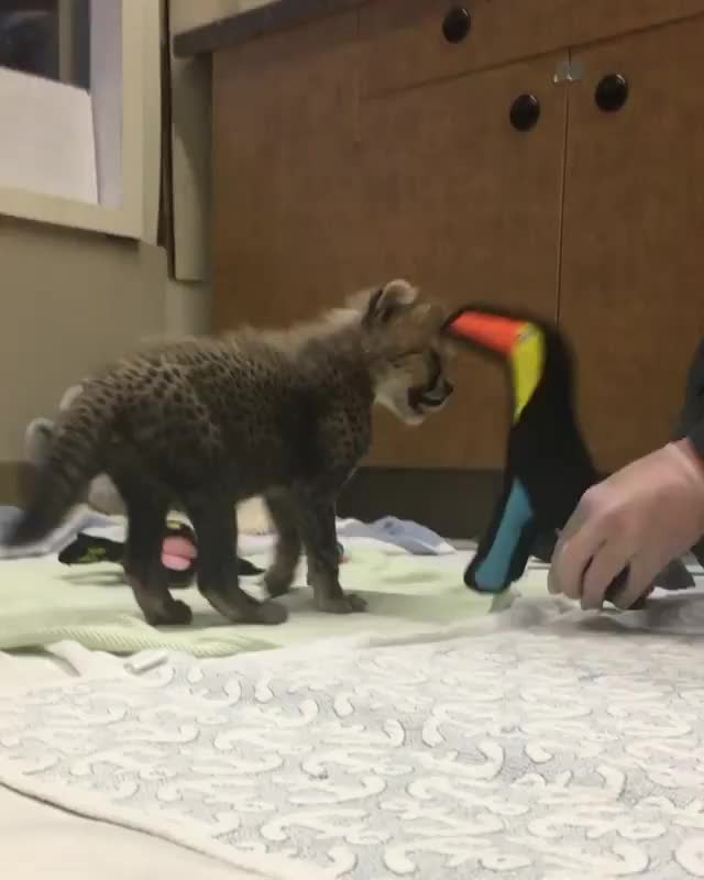 Watch Video by sdzsafaripark GIF by awkwardtheturtle on Gfycat. Discover more awkwardtheturtle GIFs on Gfycat