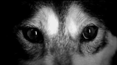 Watch dog barking GIF on Gfycat. Discover more Black and white, Black eyes, Dog eyes, Gif, Pretty, Strange, Wolf eyes GIFs on Gfycat