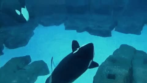 Watch this killer whale GIF on Gfycat. Discover more killer whale, mammal, ocean, orca, sea, whale GIFs on Gfycat