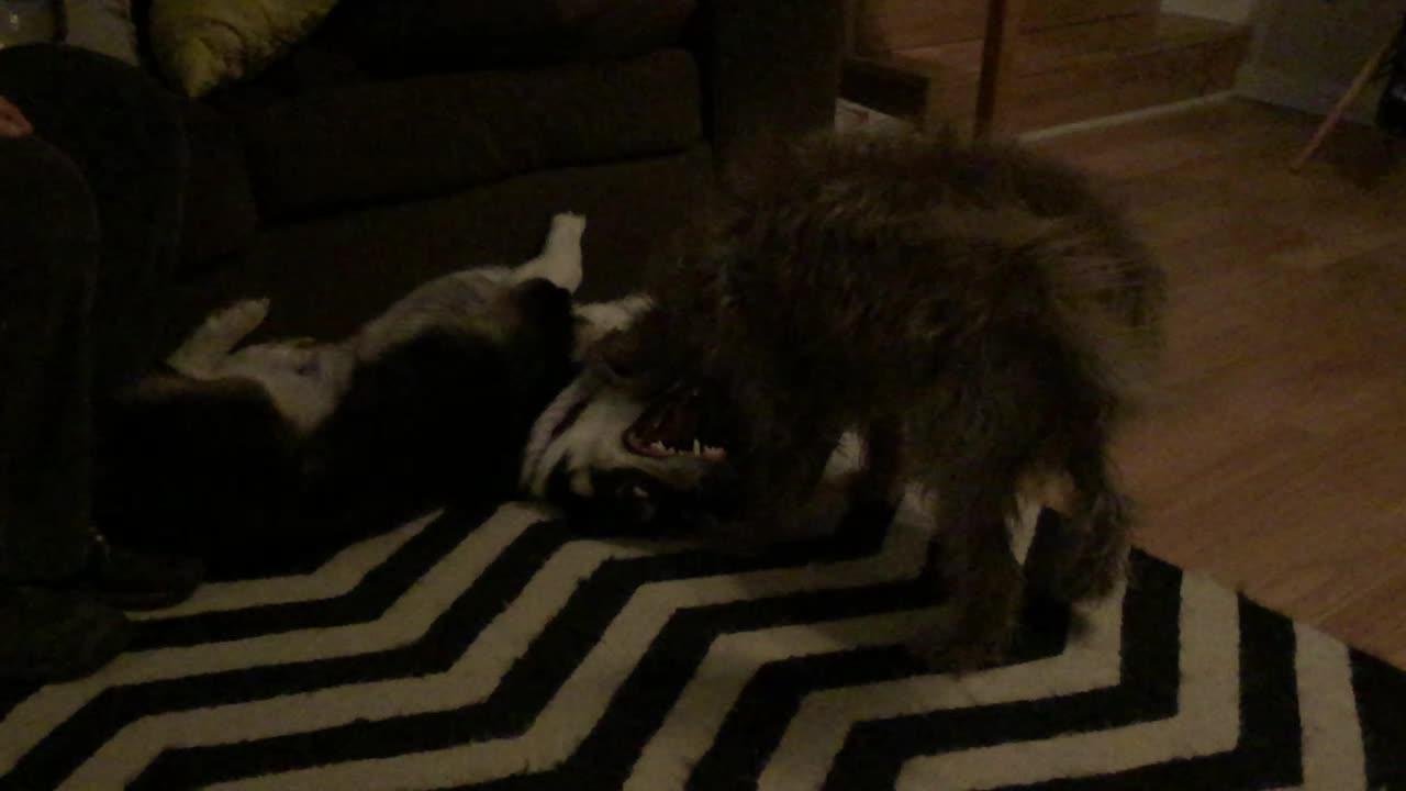Corgi, scruffy dog, puppy battles  GIFs