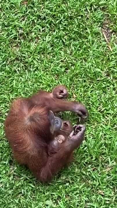 Watch and share Sunglasses GIFs and Orangutan GIFs on Gfycat