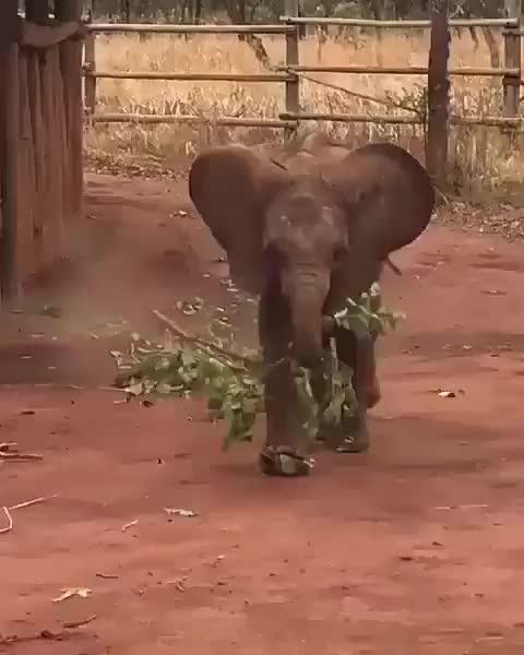 Watch no branch GIF by PM_ME_STEAM_K3YS (@pmmesteamk3ys) on Gfycat. Discover more bekindtoelephants, elephantlove, elephantlover, elephanttattoo, festasafari, midnightsafari, safari, safariduha, safaripark, safariphotography GIFs on Gfycat