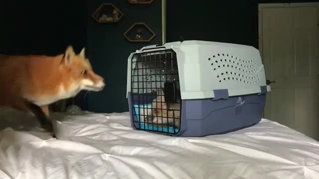Watch this GIF on Gfycat. Discover more AnimalsBeingConfused, foxes, startledcats GIFs on Gfycat