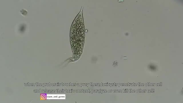 Watch and share Dileptus, A Single-celled Organism, Quickly Kills Its Prey GIFs by Pardusco on Gfycat