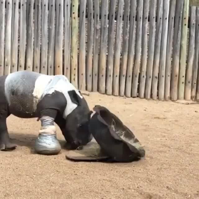 Watch this rhino GIF by PM_ME_STEAM_K3YS (@pmmesteamk3ys) on Gfycat. Discover more pmmesteamk3ys, rhino, rhinoceros GIFs on Gfycat